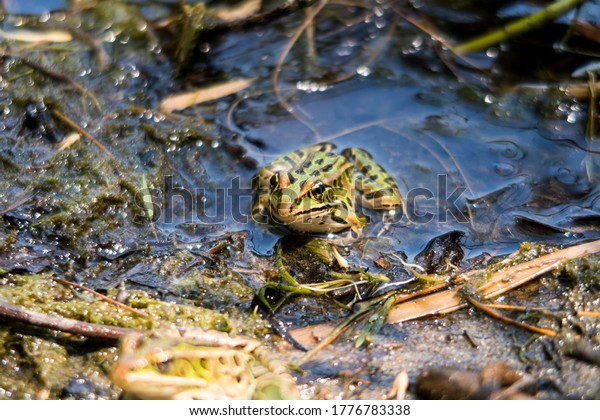 View of a northern leopard frog, in a marsh, in Oka national park, Quebec
