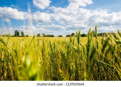 A view of nthe country agricultural field with a forest in the background on a sunny summer day, close-up, Latvia