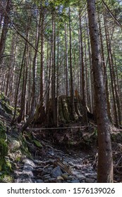 View of a nursing tree in the middle of the woods on the heather lake trail in north bend washington.