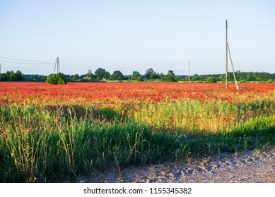 A view oc the blooming poppy field on a sunny summer day, Latvia