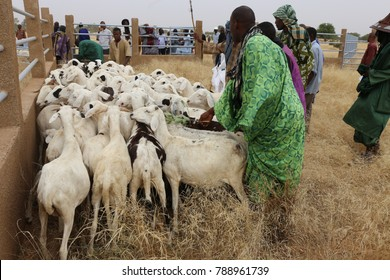 View og a vaccination campaign of sheep in a rural area of Louga region in North of Senegal. The sheep are placed in a corridor to be vaccinated. The picture has been taken on 13rd november 2015.