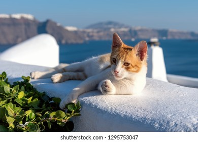 View of Oia village - Aegean sea - Santorini cat - Greece