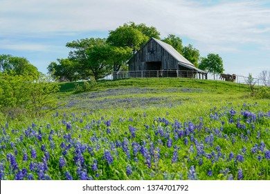 View of old barn with bluebonnet wildflowers along countryside near Texas Hill Country