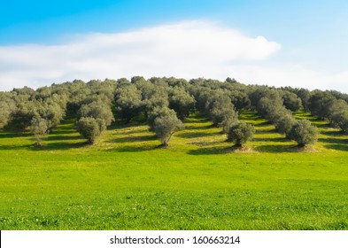 View of an olive grove in the Lazio countryside in Italy