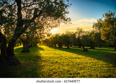 View of olive trees and meadow at sunset in Tuscany.