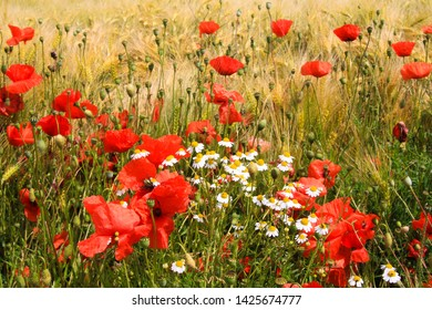 View on barley grass field in summer with red corn poppy flowers (Papaver rhoeas) and white and yellow camomille flowers