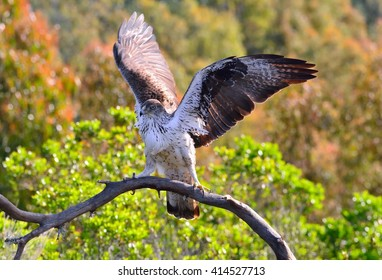 View on beautiful Bonelli's eagle with spreaded wings on tree branch.Bokeh