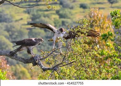 View on beautiful wild Bonelli's eagle couple on tree branch in sunlight