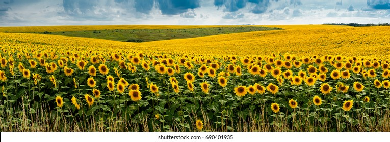 view on big Sunflowers field with clouds