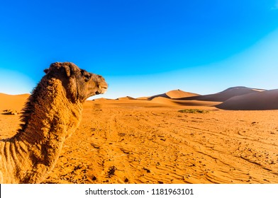View on camel in front of sand dunes in the Sahara desert next to Mhamid - Morocco