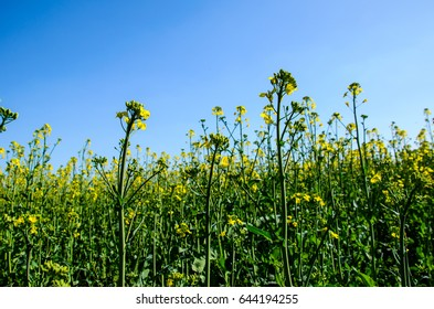 View on a canola field on spring
