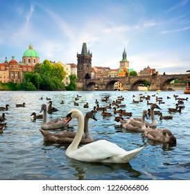 View on Charles bridge and Swans on Vltava river