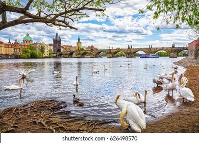 View on Charles bridge and swans on Vltava river in Prague, Czech Republic