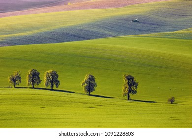 View on the chestnuts and tractor fertilize a field in South Moravia, Czech Republic
