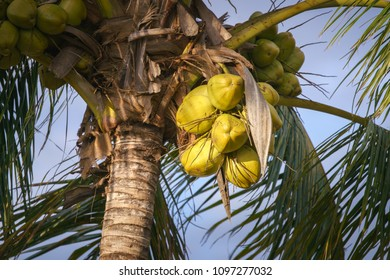 view on coconut palm close up