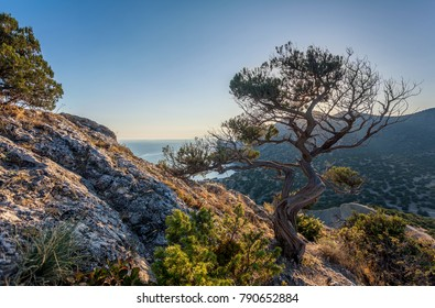 View on crooked tree on stony slope, rock in left, clean blue sky in background, mountain ravine beneath, sea bay in distance and sun behind tree branches in Crimea