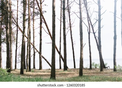 View on the forest with tall pines.