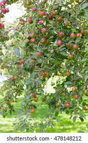 view on fresh ripe cultivated apple tree with fruits outdoors