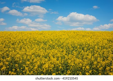View on a fully blossoming canola field