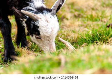 View on a goat standing on a field of Transylvania, Romania on a cloudy day.