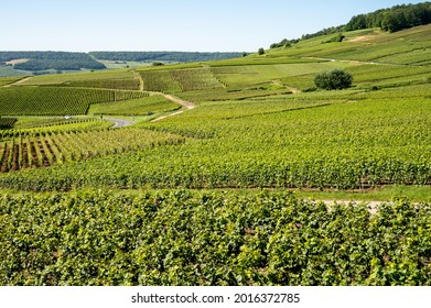 View on green vineyards in Champagne region near Epernay, France, white chardonnay wine grapes growing on chalk soils in summer