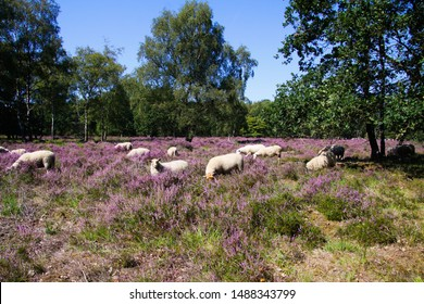 View on herd of sheep grazing in glade of dutch forest  heathland with purple blooming heather erica carnea plants (Ericaceae) - Venlo, Netherlands, Groote Heide