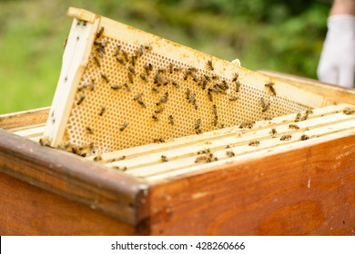 View on honeycomb frames of a beehive with bees
