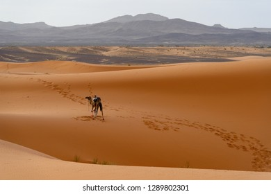 View on the Merzouga desert with a camel standing on a sandy dune
