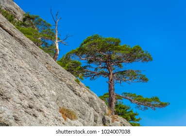 View on mountain slope with couple of south pines and one dried tree lit with sunlight under clean blue sky in Crimea