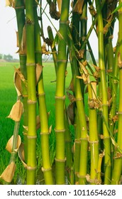view on natural bamboo in asian