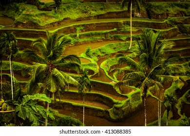 view on rise fields at Bali island. Indonesia