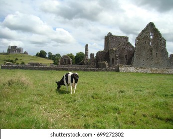 View on the Rock of Cashel and Hore Abbay with a cow eating grass, Tipperary, Ireland