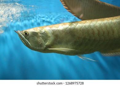 View on silver arowana (Osteoglossum bicirrhosum), sometimes spelled arawana. It's a South American freshwater bony fish of the family Osteoglossidae.