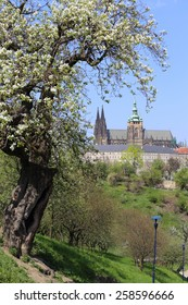 View on the spring Prague gothic Castle with the green Nature and flowering Trees, Czech Republic