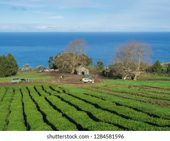 View on tea plantation rows at tea factory Cha Gorreana with herd of cows and working farmers and their cars, green trees, ocean and blue sky background. Cha Gorreana is oldest, and only, tea