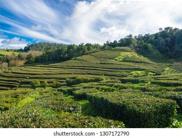 View on tea plantation rows at tea factory Cha Gorreana with green trees and blue sky background. The oldest, and only, tea plantation in Europe