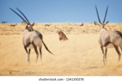 View on wild Lioness, Panthera leo, sitting directly among two Oryx antelopes in dry savanna. Typical african animals scene. African  predator and its prey. Wildlife photography in Etosha, Namibia.