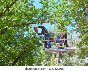 View on workers cutting tops of the trees by chainsaw at elevator crane machine. People at work - trees lopping process