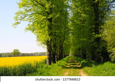 View on yellow rapeseed field with green trees and agricultural path in dutch rural landscape in spring near Nijmegen - Netherlands