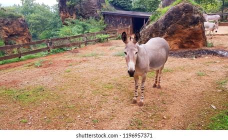 View of one Somali Wild Ass (Equus africanus somaliensis)