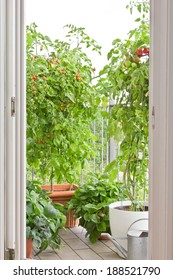 View onto balcony with tomato plants with ripe tomatoes and strawberry plants in pots