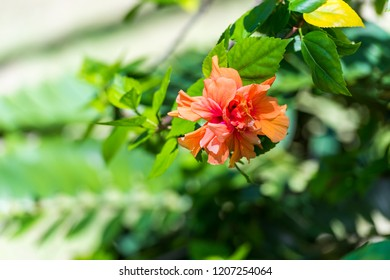 View of an orange flower, Moalboal, Cebu, Philippines. With selective focus