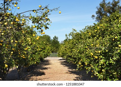 View of an organic citrus grove with lemon and orange trees.