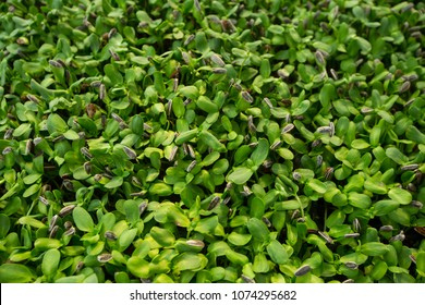 View of organic sunflower germinating plants from a seedbed indoor.young plant seeding in soil, Top view selective focus