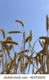 View out of Wheat field to sky