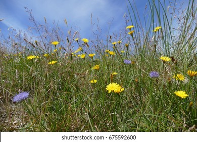 View over the dike crown of the island of Mandoe / Denmark with a variety of flowers and grasses, that bloom on the sea coast like Hawkweed, Jasione laevis, Crinkled Hair Grass and others