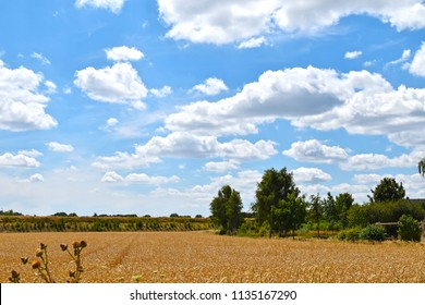 View over golden grain fields to trees under a blue sky with white clouds