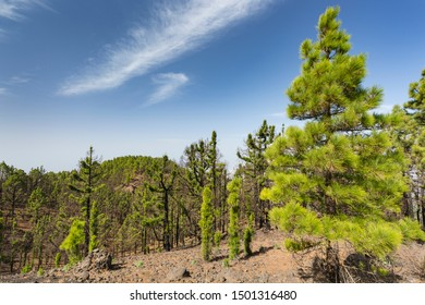 View over the pine forest of the Cumbre Vieja with blue sky in La Palma, Spain.