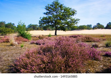 View over purple blooming heather heath erica carnea flower bush on isolated oak tree with sand dunes, conifer forest background against blue sky - Loonse und Drunense Duinen, Netherlands
