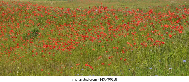 view over uncultivated meadow in hilly landscape with poppies and cornflowers